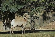 Rocky Mountain Bighorn Sheep, Ovis canadensis canadensis, near Colorado Springs, USA