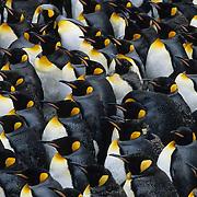 King Penguin (Aptenodytes p. patagonica) colony. South Georgia Islands
