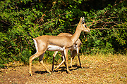 The mountain gazelle or the Palestine mountain gazelle (Gazella gazella) is a species of gazelle widely but unevenly distributed. Mountain gazelles are one of the few mammals in which both sexes have horns. Males have significantly larger horns with rings around them. Females will also have horns, but they will be thinner and shorter. Along with the horns, The Mountain gazella is the most common gazelle in Israel, residing largely in three areas. Its population decreased greatly throughout its natural range in the first part of the 20th century due to poaching and successful breeding of Iranian wolves, but increased thereafter in Israel due to conservation efforts.
