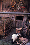A goat belonging to traditional Alpine farmer Peter Eberle in the courtyard of a dairy and goat farm in Balzers, Liechtenstein, on 8th February 1990, in Balzers, Liechtenstein. Liechtenstein is a landlocked Principality bordered by the Alpine countries of Austria and Switzerland and is a winter sports resort, though best known as a tax haven, attracting companies worldwide to register their assets in complete secrecy. Its agricultural output is mainly wheat, barley, corn, potatoes, livestock and dairy products though technology companies have been eroding the traditional ways of life such as Peter's for decades.
