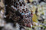 Epinephelus hexagonatus (Starspotted Grouper)