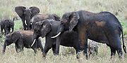 A family group of African elephant (Loxodonta  africana) of a variety of ages, covered in wet mud from a recent wallow and brown dust. Tarangire National Park, Tanzania.