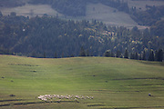 With the Slovakian border on the opposite hillside, sheep graze on Polish agricultural land in southern Poland, on 20th September 2019, Biala Woda, Jaworki, near Szczawnica, Malopolska, Poland.