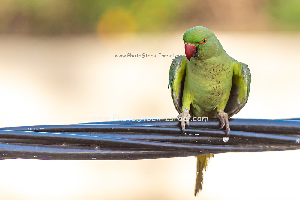 Female Rose-ringed Parakeet (Psittacula krameri), AKA the Ringnecked Parakeet in a tree. The Rose-ringed Parakeet has established feral populations in various parts of the world including Israel, competes with the local wildlife and is considered a pest Photographed in Israel