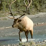 Elk, (Cervus elaphus) bull in rut herding cows through river. Canadian Rockies. Fall.