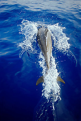 wild bottlenose dolphin, bow-riding, Tursiops truncatus, off Kona Coast, Big Island, Hawaii, Pacific Ocean