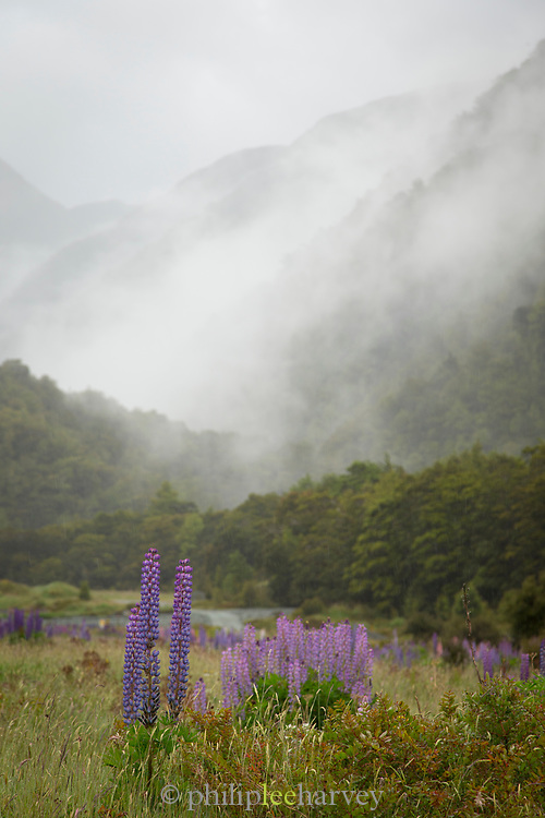 Landscape with purple blooming lupines on the road to the Milford Sound, Hollyford Valley, Fiordland National Park, South Island, New Zealand