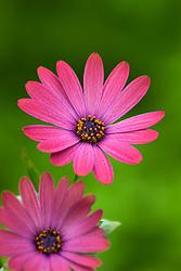 Osteospermum Serenity Rose Magic (Serenity series). African daisy