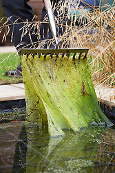 Pond care - clearing blanket weed from a pond with a rake