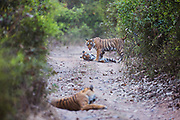 Three endangered Bengal tigers (Panthera tigris tigris) in the wild in the early morning, Ranthambhore National Park, Rajasthan, India,
