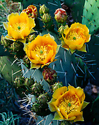 Engelmann's Prickly-Pear Cactus, Opuntia phaeacantha, Havasu Canyon of the Grand Canyon, Havasupai Indian Reservation, Arizona.