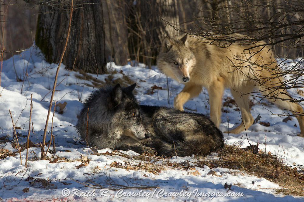 Two gray wolves, one bedded, in wooded winter habitat. Captive pack.