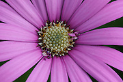 Osteospermum belongs to the plant family Compositae (Asteraceae) or Daisy family. The plant originates from South Africa and is therefore also known under the common name 'African Daisy'.