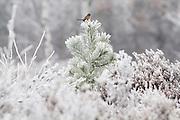 Dartford warbler (Sylvia undata)  in hoar frost on heathland. Chobham Common, Surrey, UK.