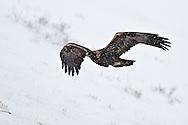 Golden Eagle in flight, National Elk Refuge, Jackson Hole, Wyoming