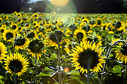 sunflowers directed to the sun in the early sunshine rays