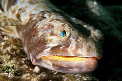 sand diver lizardfish, Synodus intermedius, South Elbow, Key Largo, Florida Keys National Marine Sanctuary, Atlantic Ocean
