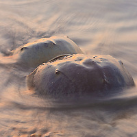 A pair of Atlantic horseshoe crabs (Limulus polyphemus) spawning at the surf line at sunrise participate in one of the great natural spectacles in the eastern US, Slaughter Beach, Delaware.