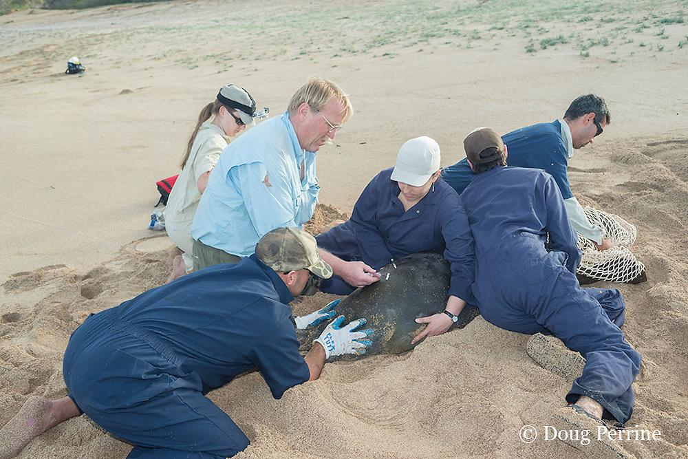 NOAA researchers restrain a captured Hawaiian monk seal, Monachus schauinslandi, Critically Endangered endemic species, while veterinarian Dr. Bob Braun takes a blood sample; west end of Molokai, Hawaii, photo taken under NOAA permit 10137-6, Ho ike a Maka Project