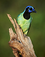 Green Jay (Cyanocorax yncas). Campos Viejos, Texas. Image taken with a Nikon D4 camera and 600 mm f/4 VR lens