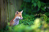 Bristol Urban Fox Family - NEW