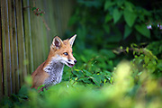 Urban Fox cub peering out from beneath a wooden fence in central Bristol.