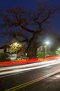The ancient Crouch Oak lit up by passing traffic at night. Addlestone, Surrey, UK.<br /> <br /> This tree once marked the perimeter of Windsor Great Park and is thought to date from the 11th Century, which would make it in excess of 900 years old.