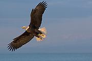 Bald Eagle, Haliaeetus leucocephalus, flying, Kenai Peninsula, Homer Spit, Homer, Alaska. Digital original, #2006_1512 ©Robin Brandt