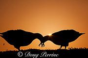 Laysan albatross, Phoebastria immutabilis, courtship dance at sunrise, Sand Island, Midway Atoll, Midway National Wildlife Refuge, Papahanaumokuakea National Monument, Northwest Hawaiian Islands ( North Pacific Ocean )