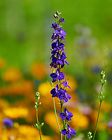 Delphinium/Larkspur. Image taken with a Nikon D850 camera and 200-500 mm f/5.6 VR lens