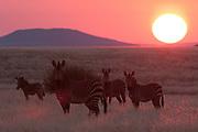 Hartmann's mountain zebra (Equus zebra hartmannae), Palmwag Concession, Damaraland, Namibia.