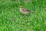 White-throated Sparrow (Zonotrichia albicollis)<br />Winnipeg<br />Manitoba<br />Canada