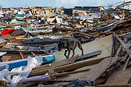 A dog rummages through an area called the Mudd ravaged by Hurricane Dorian at Marsh Harbour in Great Abaco Island, Bahamas on Thursday, September 5, 2019