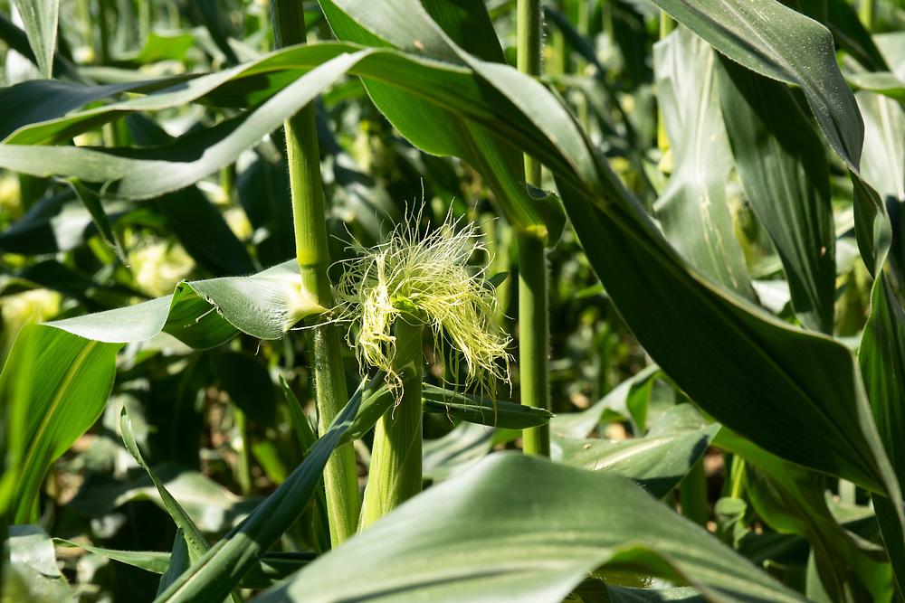Sweet corn growing in the Longleaf Ridge farm in Camilla, Georgia.