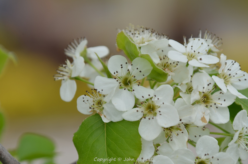 These dogwood flowers do not last long, so get them when you can.  Hillsborough, NJ