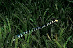 A Banded Sea Krait, Laticauda colubrina, makes its way through a field of sea grass. Popo, Manado Bay, North Sulawesi, Indonesia, Pacific Ocean