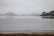 Smal bird walks along shoreline of Morro Bay and Morro Rock, Sweet Springs Nature Preserve, Baywood Park, San Luis Obispo County, California, USA