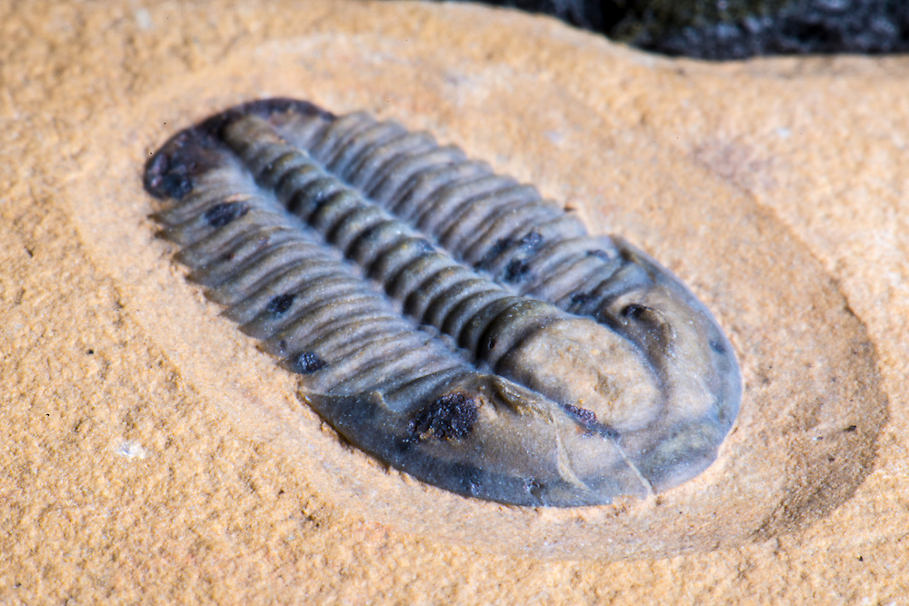 Thisbeautiful Modocia kohli (sagittal length: 14mm) is a rare Middle Cambrian ptychopariid trilobite collected from the Weeks Formation in the House Range, Millard County, Utah