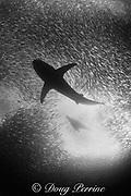 copper shark or bronze whaler, Carcharhinus <br /> brachyurus, and South African fur seal, Arctocephalus pusillus pusillus, feed in a baitball of sardines, Sardinops sagax, during the annual Sardine Run up the east coast of South Africa ( Indian Ocean )