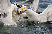 Black-backed Gulls (Larus marinus) and Herring Gulls (Larus argentatus) fight over food.