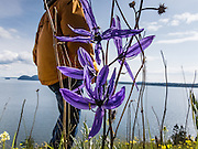 "Indian Camas (Camassia quamash) blooms with a blue flower on Vendovi Island, Washington, USA. A hiker walks in the sunny background. Vendovi Island lies across Samish Bay from mainland Skagit County, between Guemes Island and Lummi Island, in the Salish Sea. The Indian Camas (or Indian hyacinth or Wild hyacinth, Camassia quamash) is native to western North America. Its flowers bloom in various shades of blue. DNA and biochemical studies by  the Angiosperm Phylogeny Group have reassigned Camassia from the Lily family to the family Asparagaceae, subfamily Agavoideae. The scientific species name ""quamash"" is from a Nez Perce term for the plant's bulb, which was gathered and used as a food source by tribes in the Pacific Northwest. On the San Juan Islands, native tribes burned forest to maintain sunny fields for growing this plant. Vendovi Island was named after a Fijian High Chief Ro Veidovi who was brought to North America by the 1841 Wilkes Expedition. The San Juan Preservation Trust, a land trust for conservation in the San Juan Islands, purchased the island in December 2010 from the family of John Fluke Sr."