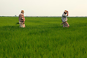 Farmers working on their rice plantations at La Albufera National Park, in Valencia, Spain.