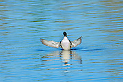Great northern or common loon Gavia immer displaying on Klotz Lake<br /> Longlac<br /> Ontario<br /> Canada