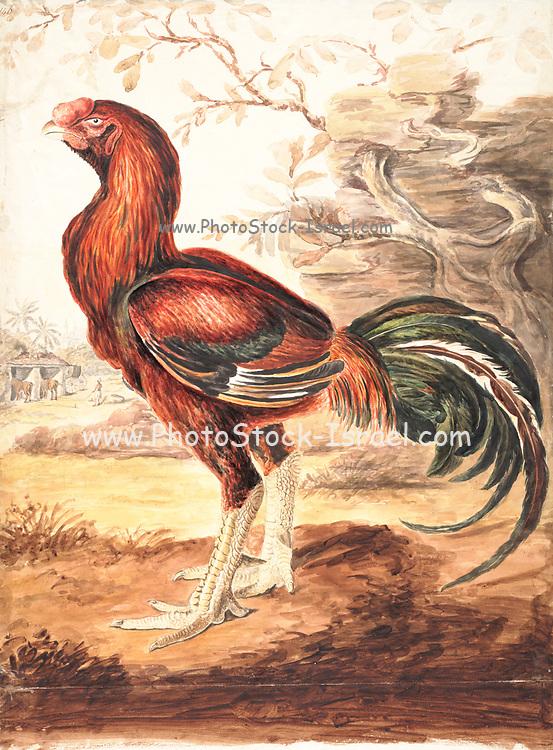 The red junglefowl (Gallus gallus) is a tropical bird in the family Phasianidae. It ranges across much of Southeast Asia and parts of South Asia. Red junglefowl are the primary ancestor of the domestic chicken (Gallus gallus domesticus); Evidence from the molecular level derived from whole-genome sequencing revealed that the chicken was domesticated from red junglefowl about 8,000 years ago, with this domestication event involving multiple maternal origins. Since then, their domestic form has spread around the world where they are kept by humans for their meat and eggs. 18th century watercolor painting by Elizabeth Gwillim. Lady Elizabeth Symonds Gwillim (21 April 1763 – 21 December 1807) was an artist married to Sir Henry Gwillim, Puisne Judge at the Madras high court until 1808. Lady Gwillim painted a series of about 200 watercolours of Indian birds. Produced about 20 years before John James Audubon, her work has been acclaimed for its accuracy and natural postures as they were drawn from observations of the birds in life. She also painted fishes and flowers. McGill University Library and Archives