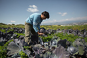 Picking red cabbage. Visiting vegetable fields of Areti and Fanouris Alexopoulou, a farmer couple in Mires Village.