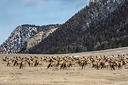Herd of elk during winter in Wyoming
