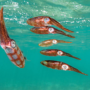 Caribbean reef squid form patterns on their skin and their formation.