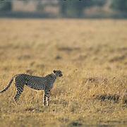 Cheetah, (Acinonyx jubatus) Adult hunting Serengeti Plains. Masai Mara Game Reserve. Kenya. Africa.