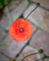 Red Poppy. Image taken with a Leica SL2 camera and 50 mm f/1.4 lens