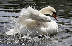 A swan splashes about in the Serpentine, Hyde Park, London.